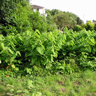 picture of Japanese Knotweed